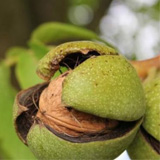 Green walnut-shell